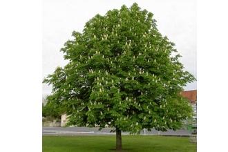 ANNE-FRANK TREE